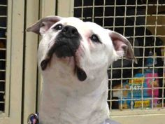 TO BE DESTROYED - 03/29/15 Manhattan Center -P  My name is CHICO. My Animal ID # is A1030667. I am a male white and brown american staff. The shelter thinks I am about 2 YEARS old.   For more information on adopting from the NYC AC&C, or to  find a rescue to assist, please read the following: http://urgentpetsondeathrow.org/must-read/