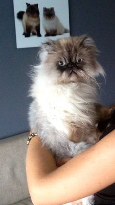 Persian cats are beautiful