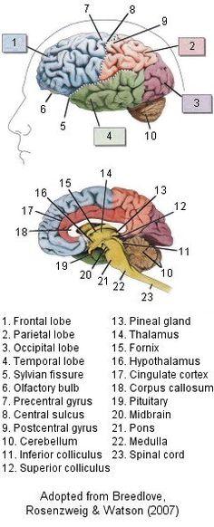 Anatomie du cerveau en anglais. Ca peut toujours servir pour un voyage à l'étranger. Pour le suite de l'article en anglais : http://www.psychologypage.org/brain_anatomy.html