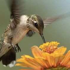 Recipe for Nectar: Bring 4 cups of water to a boil, add 1 cup of granulated sugar, stir until dissolved. Allow to cool, fill feeders. Keep excess sealed in refrigerator. (No need to add red food coloring.)