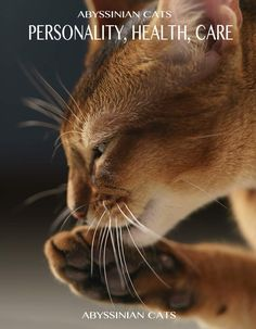 Abyssinian cat temperament is affectionate and lively