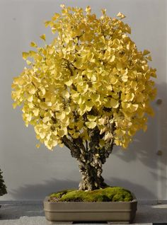 Maidenhair Tree. To my dear sister, because you didn't know what a bonsai tree was. THIS is a bonsai tree (one type of them anyway). It is literally just a little tree that fits in a dish (: A little yellow one like this would look particularly adorable in your kitchen, also.