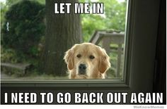If you have a golden retriever...you know this look exactly lol // Let me in, I need to go back out again