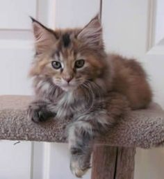 Big River Coon - Maine Coon Cats & Kittens Available Kittens  Precious!!