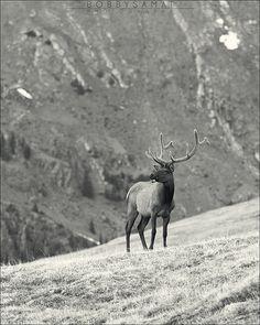 Elk - Rocky Mountain National Park, Colorado. I saw some yesterday...Beautiful