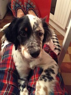 And this is why I want an English Setter