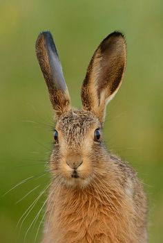 Brown Hare Leveret by Ben Andrew Animals Of The World, Animals And Pets, Cute Animals, Beautiful Creatures, Animals Beautiful, Flemish Giant Rabbit, Hare Illustration, Young Rabbit, Rabbit Pictures