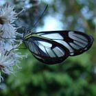 Borboleta Transparente  -  Transparent Butterfly Paraty ( RJ ) - Brasil