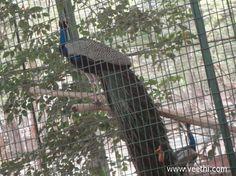 Beautiful Peacock in Vandalur Zoo