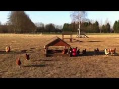 #happyeggs The Happy Egg Co - Our happy egg hens enjoying the sun
