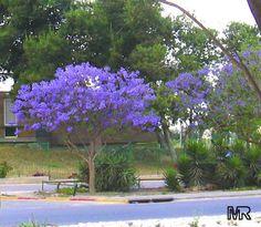 Best Trees for Central Florida | Jacaranda mimosifolia