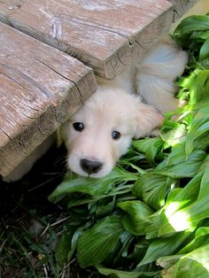 Adorable Little Golden Retriever Puppy playing Hide-and-Seek Animals And Pets, Baby Animals, Funny Animals, Cute Animals, Wild Animals, Cute Puppies, Cute Dogs, Dogs And Puppies, Doggies