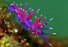 Flabellina pedata pink coryphella1