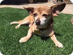 Fallbrook, CA - Dachshund/Chihuahua Mix. Meet Petey, a dog for adoption. http://www.adoptapet.com/pet/17882068-fallbrook-california-dachshund-mix