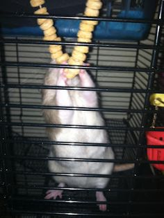 great blog with lots of ideas for environmental enrichment for rats