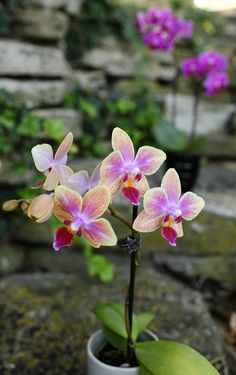 Mini pink and yellow orchids outside