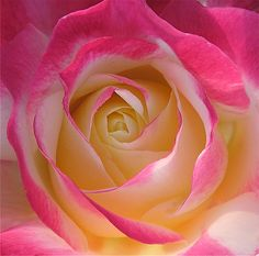 Love and Peace Rose