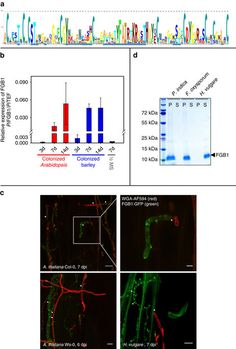 The fungal-specific β-glucan-binding lectin FGB1 alters cell-wall composition and suppresses glucan-triggered immunity in plants  #biology #Carbohydrates #cellbiology #CellWall #Chemistry #Environment #Glucan #Health_Medical_Pharma #Lectin #polysaccharides #spectroscopy Check more at https://scifeeds.com/social-media-item/the-fungal-specific-%ce%b2-glucan-binding-lectin-fgb1-alters-cell-wall-composition-and-suppresses-glucan-triggered-immunity-in-plants/