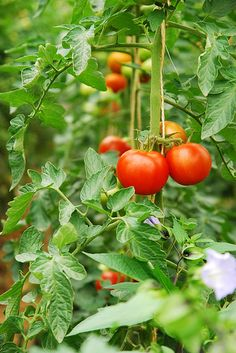 3 Tips for Growing Great Tomatoes from Seeds