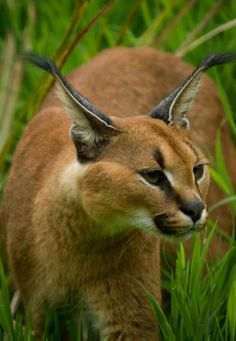 caracal... (by JasonBrownPhotography)