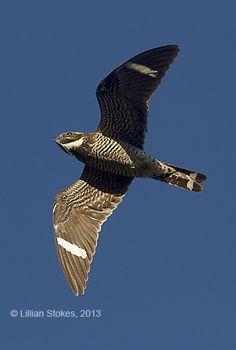 Common Nighthawk (male)