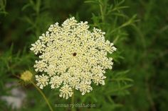 Queen Anne's Lace on the way to Farmers Market