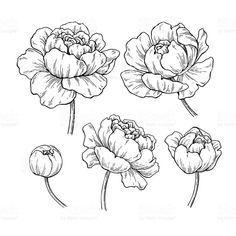 Pion botaniska ritning. Vector handritad graverad blomma uppsättning. royaltyfri pion botaniska ritning vector handritad graverad blomma uppsättning-vektorgrafik och fler bilder på blomma