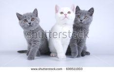 British shorthair three cats kitties on white background