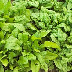 Spinach    Light:Sun,Part SunPlant Type:VegetablePlant Height:3-15 inches tallPlant Width:3-15 inches wide