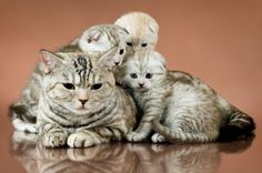 family group of four fluffy beautiful kitten with mother breed scottish-fold lie on brown background Poster Devon Rex, Sphynx, Maine Coon, Kittens Cutest, Cats And Kittens, Kitty Cats, Savannah, Popular Cat Breeds, Scottish Fold Kittens