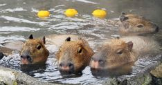 I Wish I Were As Chill As These Capybaras