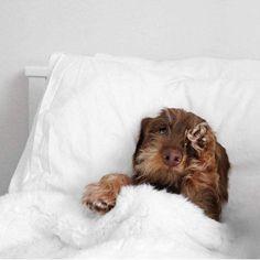 T shirt, legging, hoodie for #dachshund lovers. Order here: https://www.sunfrog.com/JohnyD/dachshund shirts