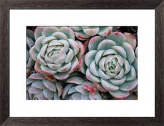 'Hens and Chicks' Succulent Print by LazingBee at Photos.com