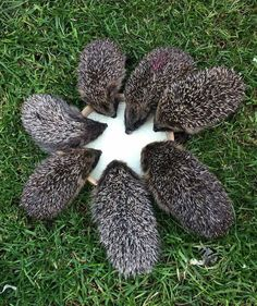 """This is so precious, these lovely Hedgehogs sharing their feed!"""