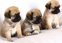 Pug & Chihuahua Chug Chug Puppies, Dogs And Puppies, Pug Mixed Breeds, Pug Breed, Basic Dog Training, Baby Pugs, Dog Pee, Cute Dog Photos, Dog Anxiety