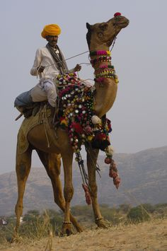 Dromedary Camel (Camelus dromedarius) with rider at Pushkar camel and livestock fair, Pushkar, Rajasthan, India