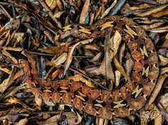 See a photo of a rhino viper camouflaged in a pile of leaves by Mattias Klum, from National Geographic.