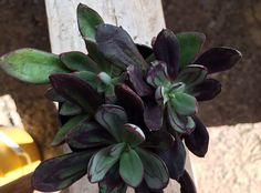 Succulents ~ Echeveria