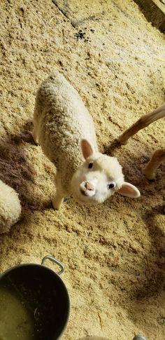 Hampshire, Sheep, Goats, Bunnies, Happy, To Draw, Hampshire Pig, The Hampshire, Ser Feliz