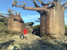 baobabs - Google zoeken