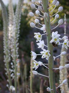 Urginea maritima by jardibotanic, via Flickr