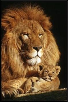 lion and cub - Google Search