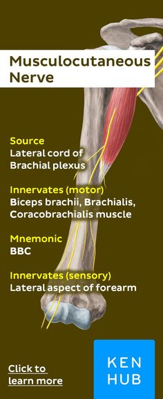 The musculocutaneous nerve innervates the Biceps, Brachialis and Coracobrachialis muscle. Elbow Anatomy, Forearm Anatomy, Nerve Anatomy, Anatomy Study, Hand Therapy, Massage Therapy, Physical Therapy, Muscle Names, Shoulder Anatomy