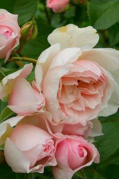 The Generous Garden, a David Austin's rose.