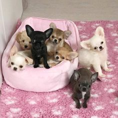 🐶To be featured👉 Fro Cute Baby Dogs, Cute Dogs And Puppies, Baby Puppies, Doggies, Cute Little Animals, Cute Funny Animals, Paris Football, Otters Cute, Chihuahua Puppies