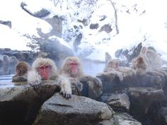 TouristLink features 11 photos of Jigokudani Monkey Park. Pictures are of Jigokudani Monkey Park - Nagano, River - Yudanaka Valley and 9 more. See pictures of Jigokudani Monkey Park submited by other Primates, Mammals, Monkey Park Japan, Japanese Monkey, Jigokudani Monkey Park, Hiroshima Peace Memorial, Japanese Macaque, Nagano Japan, Spa Water