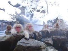 Bucket List -- visit the famous Snow Monkeys at the Jigokudani hot springs in Hokkaido, Japan <3