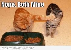 Both Mine - LOLcats is the best place to find and submit funny cat memes and other silly cat materials to share with the world. We find the funny cats that make you LOL so that you don't… Funny Cat Photos, Funny Animal Pictures, Cute Funny Animals, Funny Cute, Cute Cats, Funny Kitties, Funniest Animals, Silly Pictures, Pet Photos