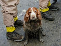 Rescue dogs of the Highway 530 mudslide! In this March 2014 photo, a search dog waits to be washed by the feet of Washington National Guardsmen after working the debris field created by the mudslide near Oso, Wash. Search And Rescue Dogs, Dog Search, War Dogs, Day Work, Service Dogs, Dogs Of The World, Working Dogs, Dog Photos, Mans Best Friend