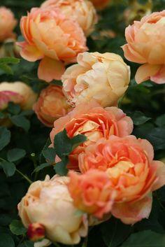 ~Lady of Shalott - English Rose